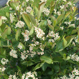 low_scape_hedger_aronia_flowers