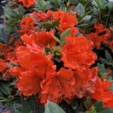 Perfecto Mundo® Orange Azalea Flower Petals and Leaves
