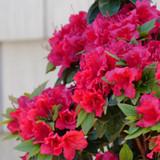 Perfecto Mundo® Red Azalea Flowers and Foliage
