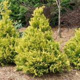 Soft Serve Gold False Cypress Shrub