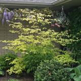 Golden Shadows® Dogwood in the Garden