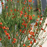 Sister Redhead® Scotch Broom Stems with Blooms