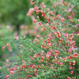 Sister Rosie® Scotch Broom Shrub Flowering