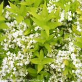 Chardonnay Pearls® Deutzia Foliage and Flowers