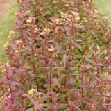 Row of Kodiak® Red Diervilla Shrubs as Garden Border