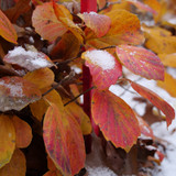 Legend Of The Fall® Bottlebrush leaves in the winter