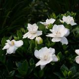 Steady As She Goes™ Gardenia  flower closeup
