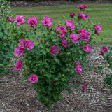 Magenta Chiffon® Rose of Sharon shrub in the garden