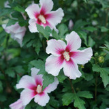 Paraplu Pink Ink® Rose of Sharon flowers and foliage
