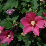 Paraplu Rouge™ Rose of Sharon flower and leaves