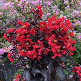 Center Stage® Red Crape Myrtle Flowers and foliage