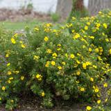 Happy Face® Yellow Potentilla Shrubs Flowering in the Garden