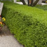 Wintergreen Boxwood Shrubs Cropped