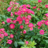 Oso Easy Peasy® Rose bush blooming in the garden