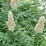 Mr. Mustard™ False Spiraea flowers and leaves