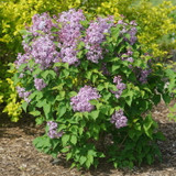 Scentara Pura® Lilac Shrub in the sunlight