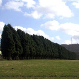 Leyland Cypress Windbreak in Field