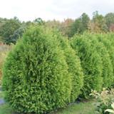 Cheer Drops™ Arborvitae green foliage