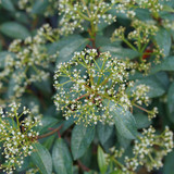 Yang® Viburnum flowers closeup
