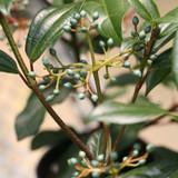 Yin® Viburnum berries