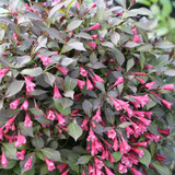 Midnight Wine Shine™ Weigela flowers and leaves