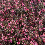 Very Fine Wine™ Weigela flowers and foliage