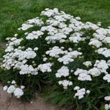 Firefly™ Diamond Yarrow flower and foliage