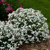 Peter Cottontail Yarrow Plant Covered in Flowers