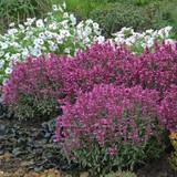 Rosie Posie Anise Hyssop Plants Blooming