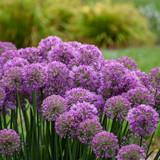 Serendipity Allium flower blooms