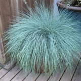 Beyond Blue Fescue Grass Cropped