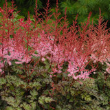 Delft Lace Astilbe Flowers and foliage