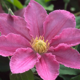 Abilene Clematis Flower Petals and Stamens