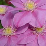 Boulevard Alaina Clematis Flowers