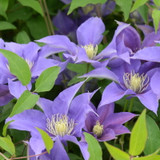 Olympia Clematis Blooms