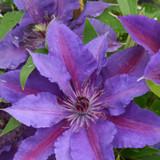 Boulevard Paulie Clematis Flowers