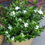 Radicans Gardenia Shrub Blooming