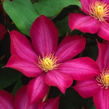 BOURBON™ Evipo Clematis Flowers