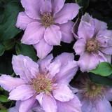 FILIGREE™ Evipo Clematis Vine Blooming