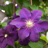 Jackmanii Superba Clematis Flower Close Up