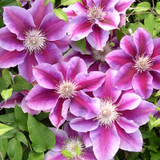 Kilian Donahue Clematis Vine Blooming and Leaves