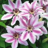 Nelly Moser Clematis Flowering