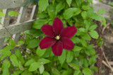 Niobe Clematis Flower and Foliage Climbing a Fence