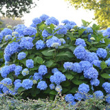 The Original Endless Summer Hydrangea Cropped