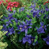 Sapphire Indigo™ Clematis Vine Flowering