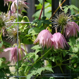 Sparky® Pink Clematis Upside Down Blooms On The Trellis