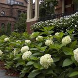 Endless Summer Blushing Bride Hydrangea  Cropped