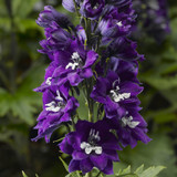 Delphina™ Dark Blue White Bee Larkspur flowers closeup