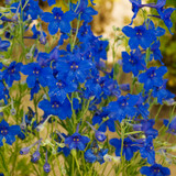 Summer Nights Dwarf Delphinium Flowers and foliage