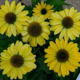 Eye-Catcher™ Canary Feathers Coneflower Flowers Close Up